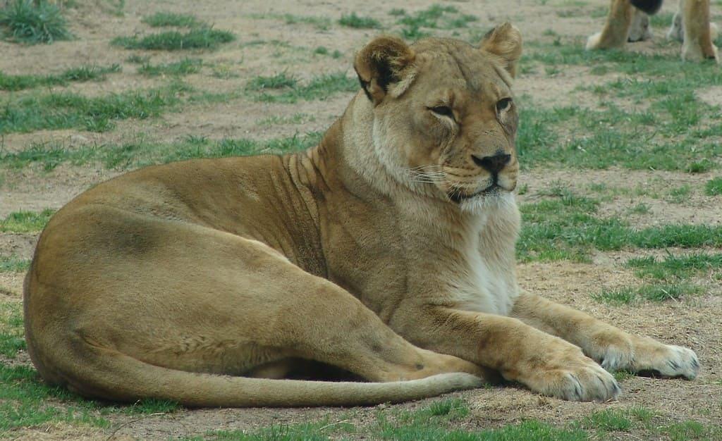 León sudafricano