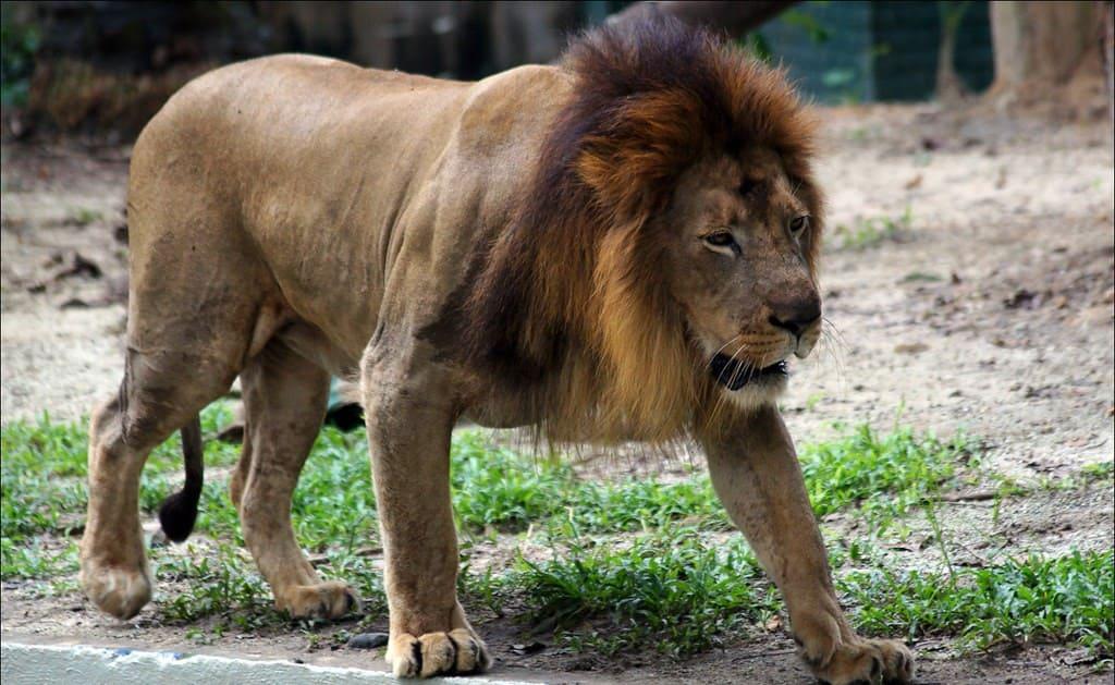 León Atlas, el más grande del mundo