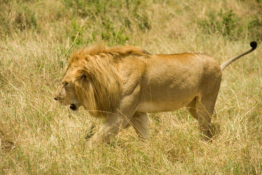 león de nubia, uno de los más grandes del mundo