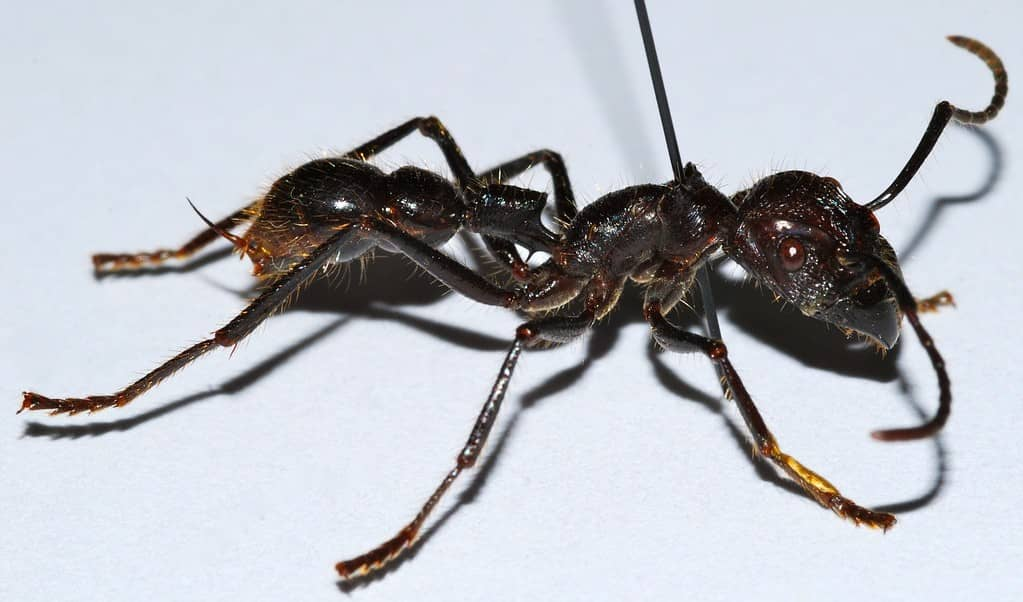 Hormiga bala, una de las hormigas más grandes del mundo