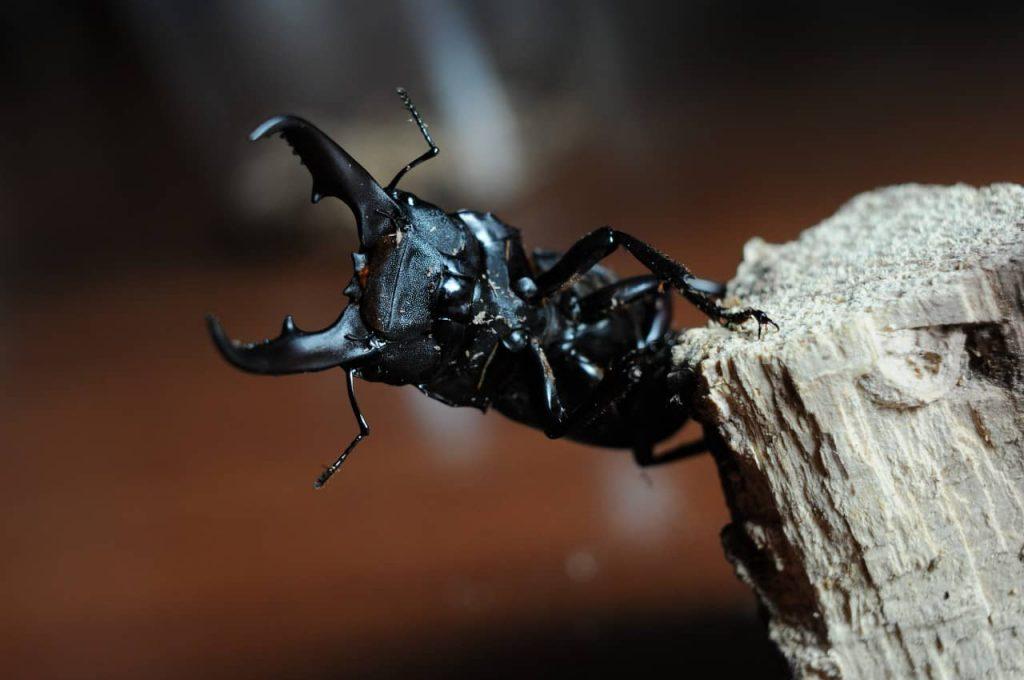 Titanus, uno de los escarabajos más grandes del mundo