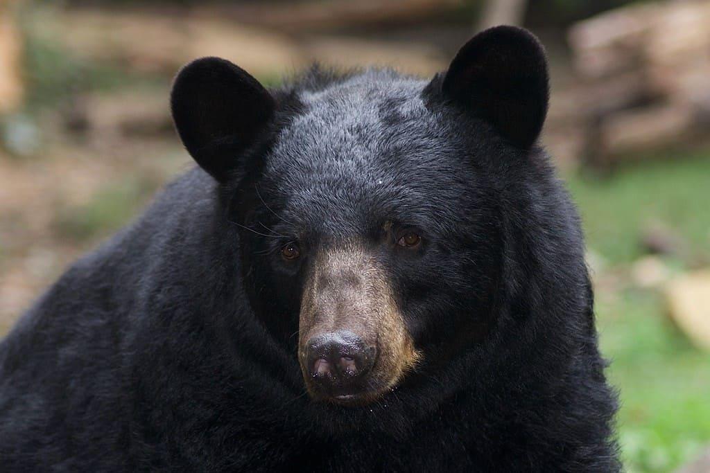 Majestuoso oso negro americano