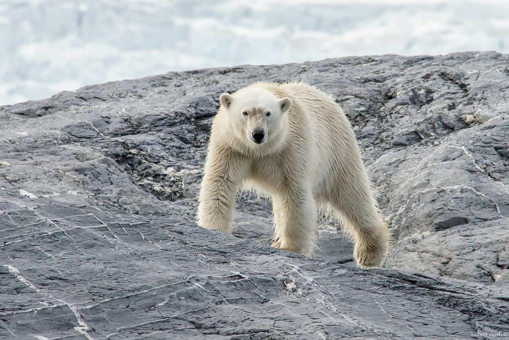 Oso polar, uno de los mamíferos más grandes del mundo