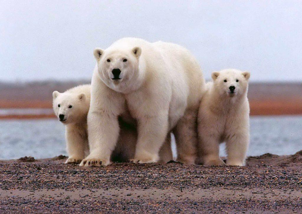 Oso polar, uno de los más grandes del mundo