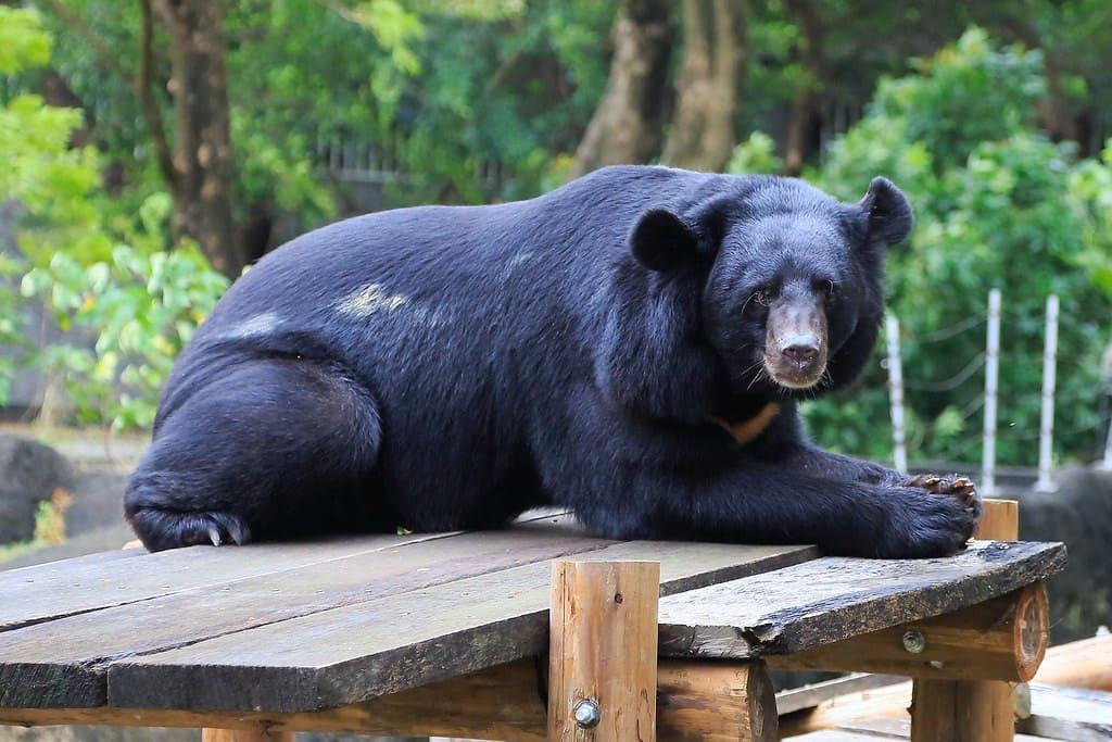 Tibetano, uno de los osos más grandes del mundo