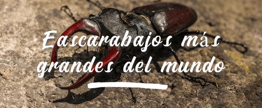 Los escarabajos más grandes del mundo