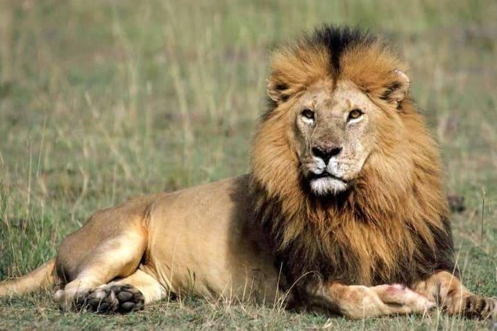 León de África Occidental, el segundo más grande del mundo
