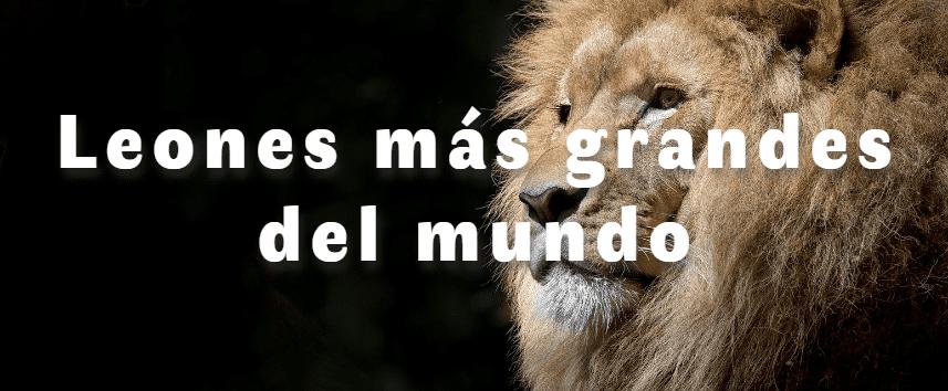 Los leones más grandes del mundo