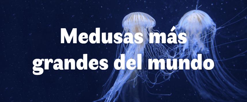 Las 5 medusas más grandes del mundo
